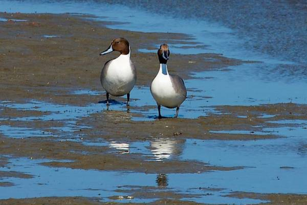 Photograph - Northern Pintail Ducks by Stuart Litoff