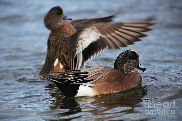 Painting - Northern Pintail Ducks by Sue Harper