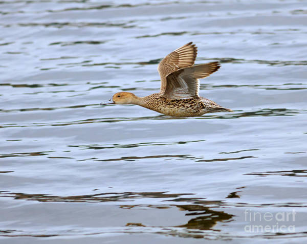 Wall Art - Photograph - Northern Pintail In Flight by Louise Heusinkveld