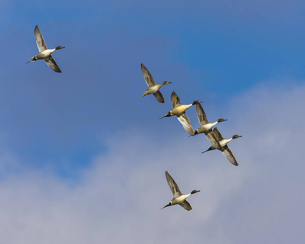 Photograph - Northern Pintails by Jack R Perry