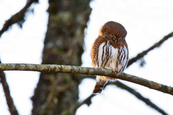 Misson Photograph - Northern Pygmy Owl by Michael Russell