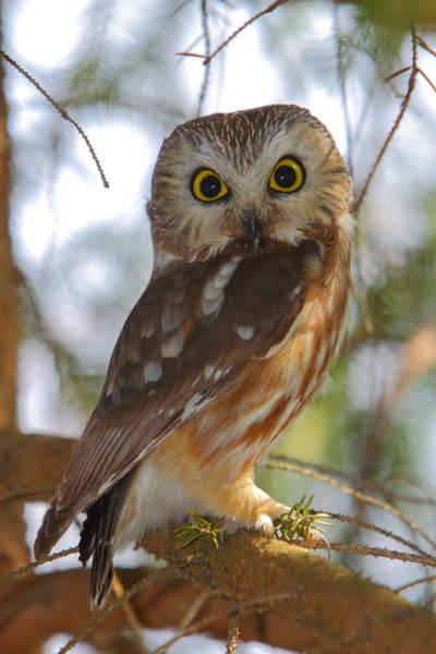 Wisdom Photograph - Northern Saw-whet Owl by Bruce J Robinson