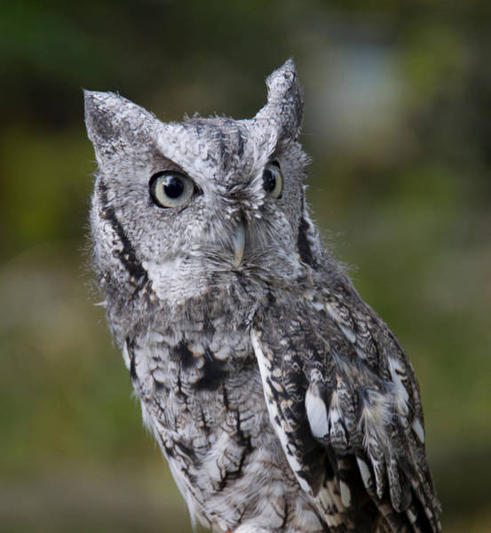 Photograph - Northern Screech Owl by Larry Bohlin