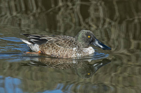 Wall Art - Photograph - Northern Shoveler by Anthony Mercieca