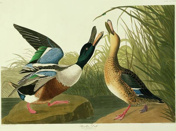 Wall Art - Photograph - Northern Shoveler Duck by Natural History Museum, London/science Photo Library