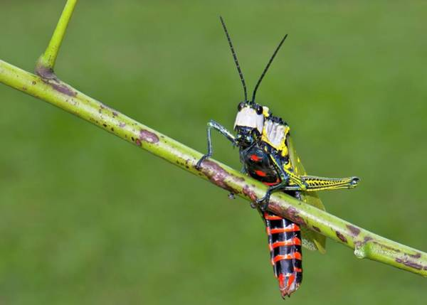 Northern India Photograph - Northern Spotted Grasshopper by K Jayaram