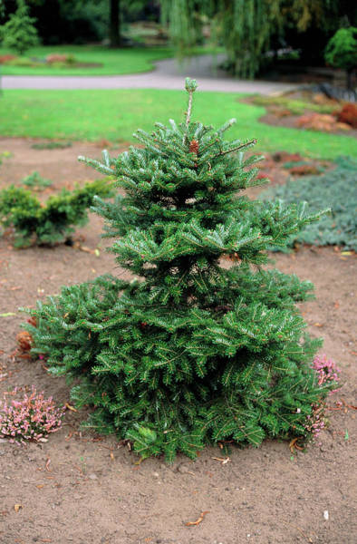 Spruce Photograph - Norway Spruce by Ron Bonser/science Photo Library