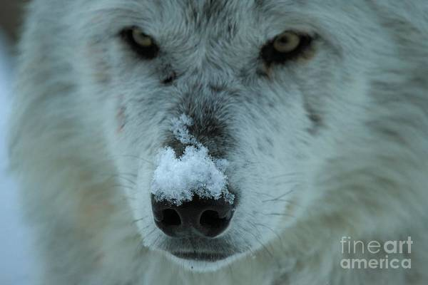 Photograph - Nosey Wolf by Adam Jewell