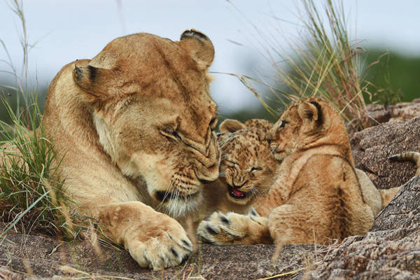 Tender Photograph - Nostalgia Lioness With Cubs by Aziz Albagshi