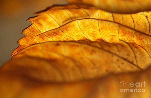 Wall Art - Photograph - November Edge Of Backlit Hydrangea Leaf by Anna Lisa Yoder