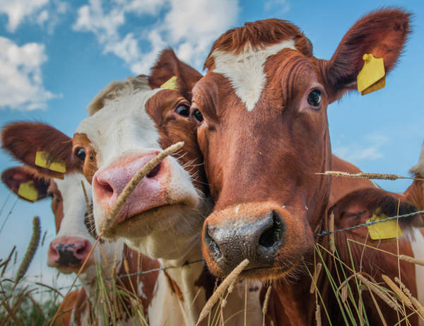 Livestock Photograph - Now Lets Cowmunicate by Ingeborg Ruyken Photography