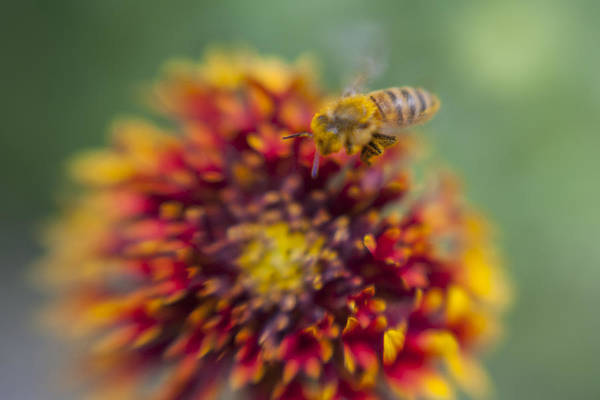 Photograph - Now Rare Honey Bee 1 by Scott Campbell