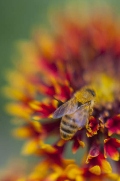 Photograph - Now Rare Honey Bee 2 by Scott Campbell