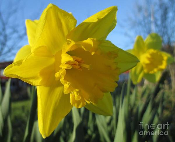 Dafodil Photograph - Now That's A Daffodil by Martin Howard