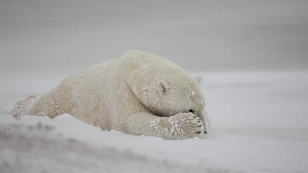 Polar Bear Photograph - Now You See Me by Alessandro Catta