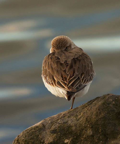 Dunlin Photograph - Nowhere To Hide by Paul Scoullar