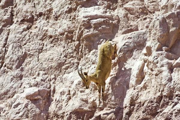 Agile Photograph - Nubian Ibex (capra Ibex Nubiana) by Photostock-israel