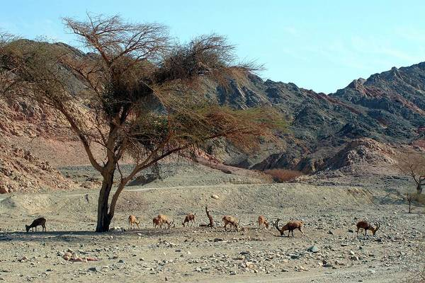 Ibex Wall Art - Photograph - Nubian Ibex In The Desert by Photostock-israel/science Photo Library