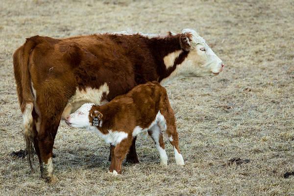 Photograph - Nursing Calf by Michael Chatt