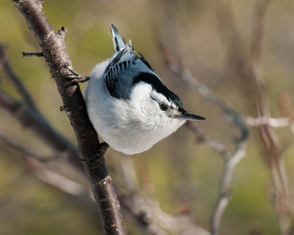 White-breasted Nuthatch Photograph - Nuthatch Pose 2 by Lara Ellis