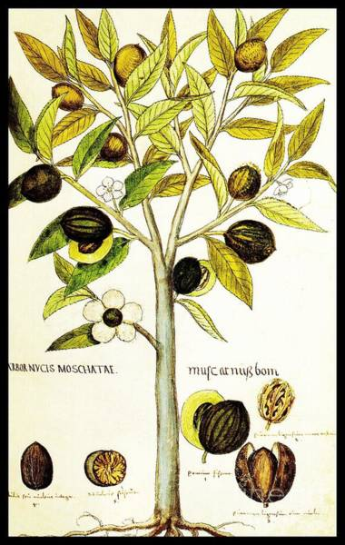 Drawing - Nutmeg Plant Botanical by Rose Santuci-Sofranko