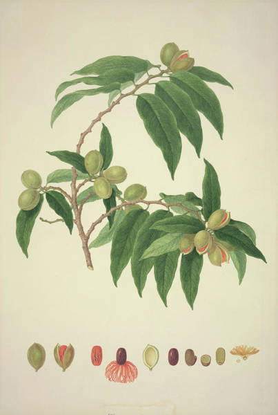 Ferdinand Photograph - Nutmeg Plant by Natural History Museum, London/science Photo Library