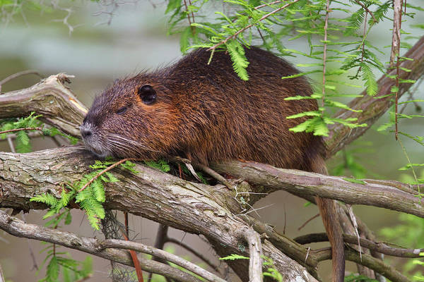 Bald Cypress Wall Art - Photograph - Nutria (myocastor Coypus by Larry Ditto