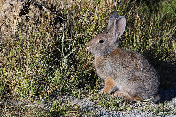 Cottontail Photograph - Nuttall's Cottontail by Kathleen Bishop