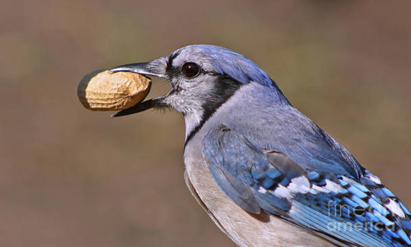 Nutty Bluejay Art Print