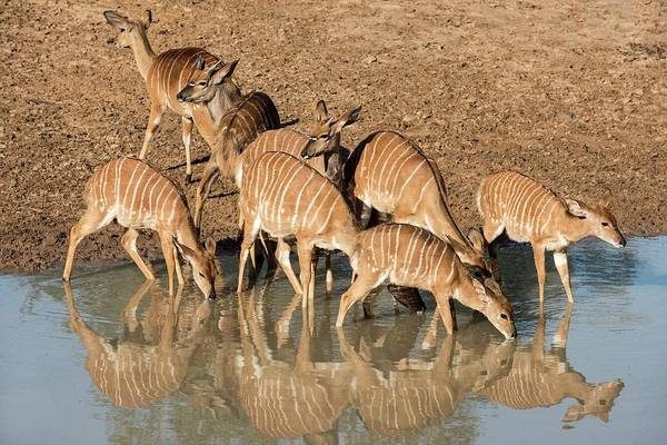 Animal Behaviour Photograph - Nyala Females Drinking At A Watering Hole by Tony Camacho