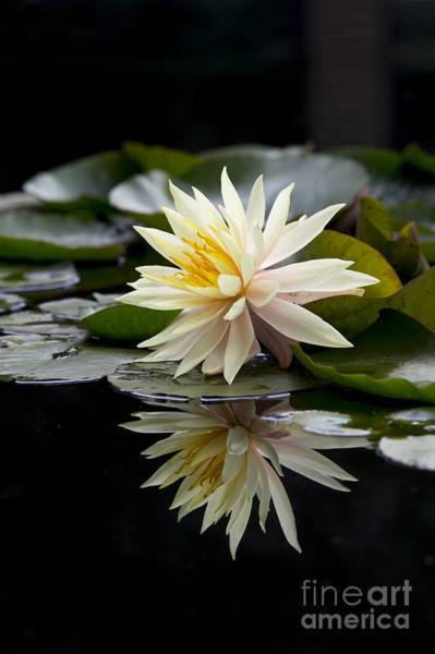 Lilly Pad Photograph - Nymphaea Maria And Reflection by Tim Gainey