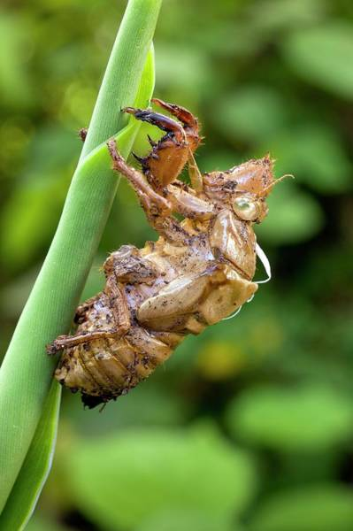 Cicada Wall Art - Photograph - Nymphal Case Of The Green Grocer Cicada by Dr Jeremy Burgess