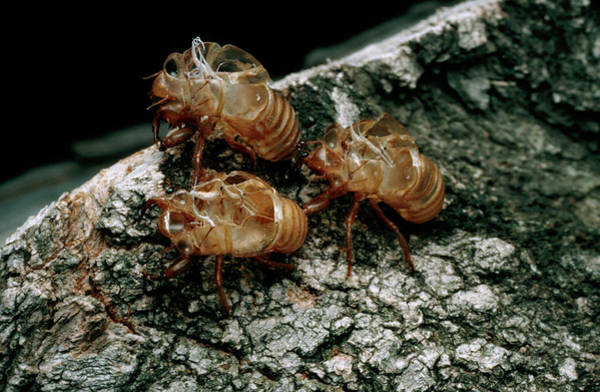 Metamorphosis Photograph - Nymphal Skins Of Cicadas by Keith Kent/science Photo Library