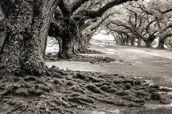 Photograph - Oak Alley by William Beuther
