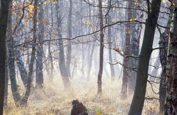 Trees In Fog Photograph - Oak And Birch Trees In Fog by Steve Taylor/science Photo Library