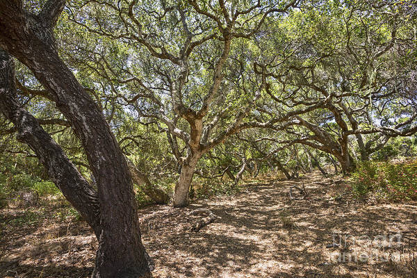 Coast Live Oak Photograph - Oak Forest - The Magical And Mysterious Trees Of The Los Osos Oak Reserve by Jamie Pham