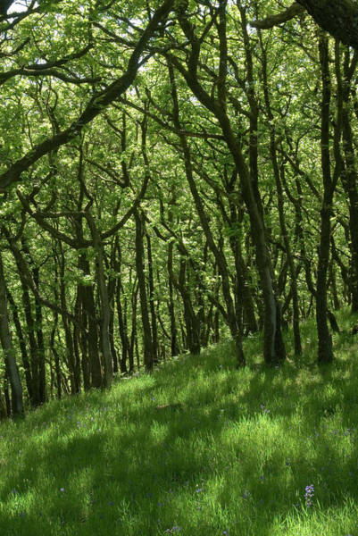 Exmoor Photograph - Oak Forest by Steve Horrell/science Photo Library