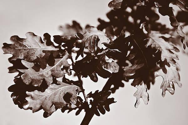 Digital Art - Oak Leaf Group by David Davies