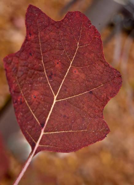 Wall Art - Photograph - Oak Leaf Hydrangea by Douglas Barnett