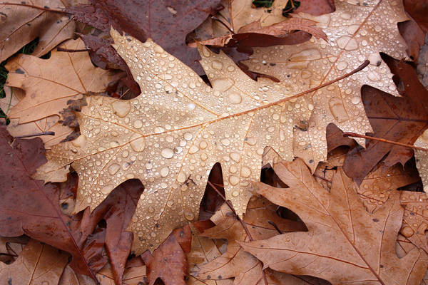 Photograph - Oak Leaves And Water Drops by Gerry Bates