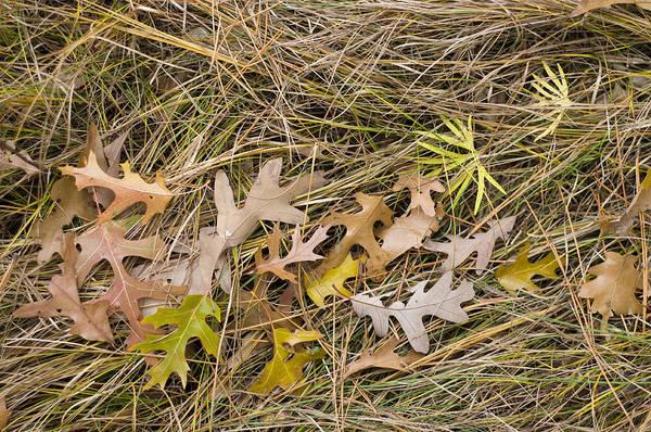 Photograph - Oak Leaves On Grass by Lynn Hansen