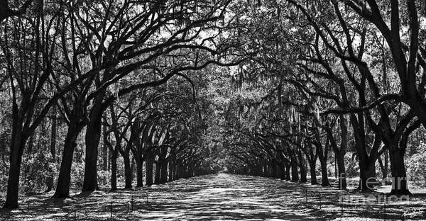 Photograph - Oak Lined Lane by Melissa Sherbon
