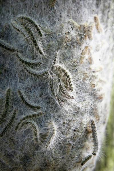 Biological Pest Control Photograph - Oak Processionary Caterpillars by Christophe Vander Eecken/reporters/science Photo Library