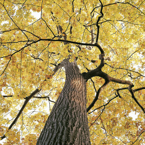 Photograph - Oak Tree by Larry Pringle