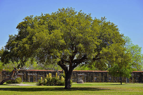 Photograph - Oak Tree Mission San Jose Tx by Christine Till