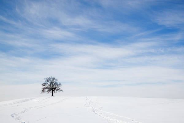 Wall Art - Photograph - Oak Tree On Snowy Hill In Winter by Henglein And Steets/science Photo Library