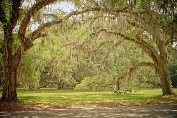 Photograph - Oak Trees Draped With Spanish Moss by Kim Hojnacki