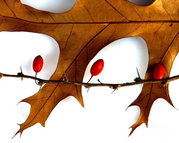 Photograph - Oak With Berries by Michael Arend