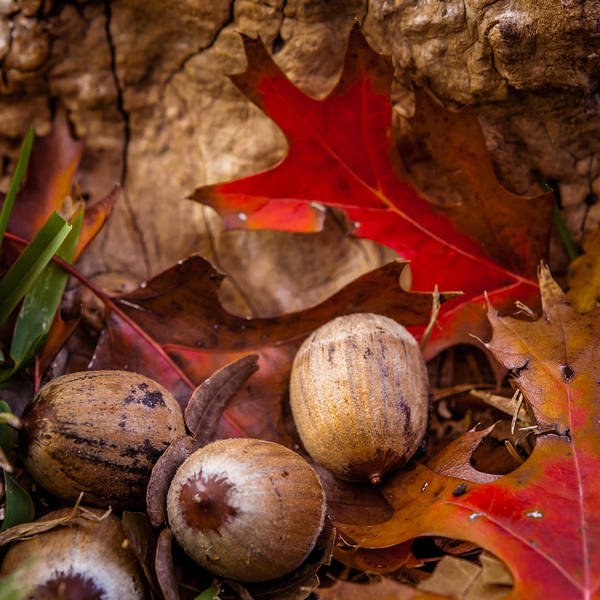 Photograph - Oaks And Acorns by Melinda Ledsome