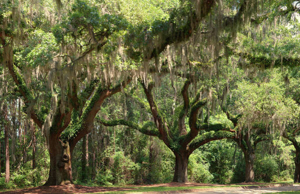 South Carolina Photograph - Oaks With Spanish Moss by Photograph By Tom Hoover